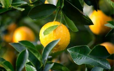 Lovely Lemons and Marvelous Mandies